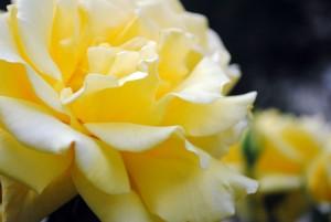 жълто, роза, цветя, листенца