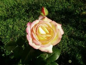 yellow, rose, garden