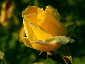 yellow, rose, macro, close