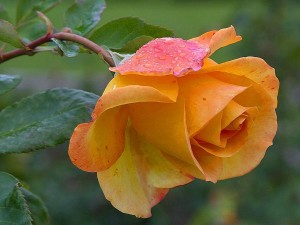 yellow, roses, dew, petals