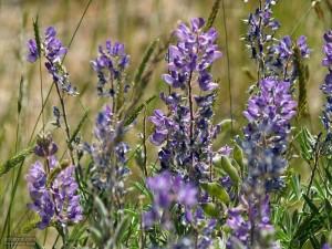 sage, hills, flowers