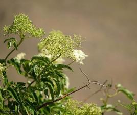 salvia, flores blancas, primavera, hierba