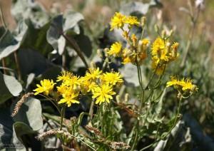 sage, hills, flowers, plants