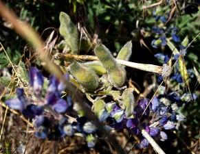 salvie, bakker, blomster, forår