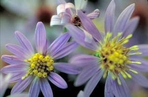 short, aster, fleur