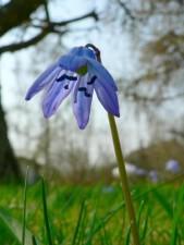 siberian, squill, flower