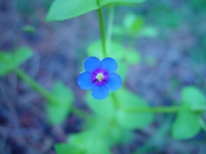 small, blue flower