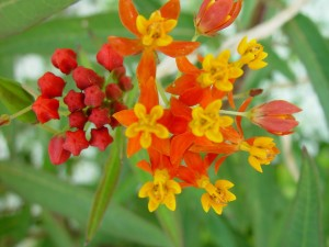 small, orange, red flowers, red, buds
