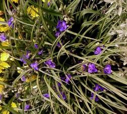 petit, fleurs pourpres, jardin