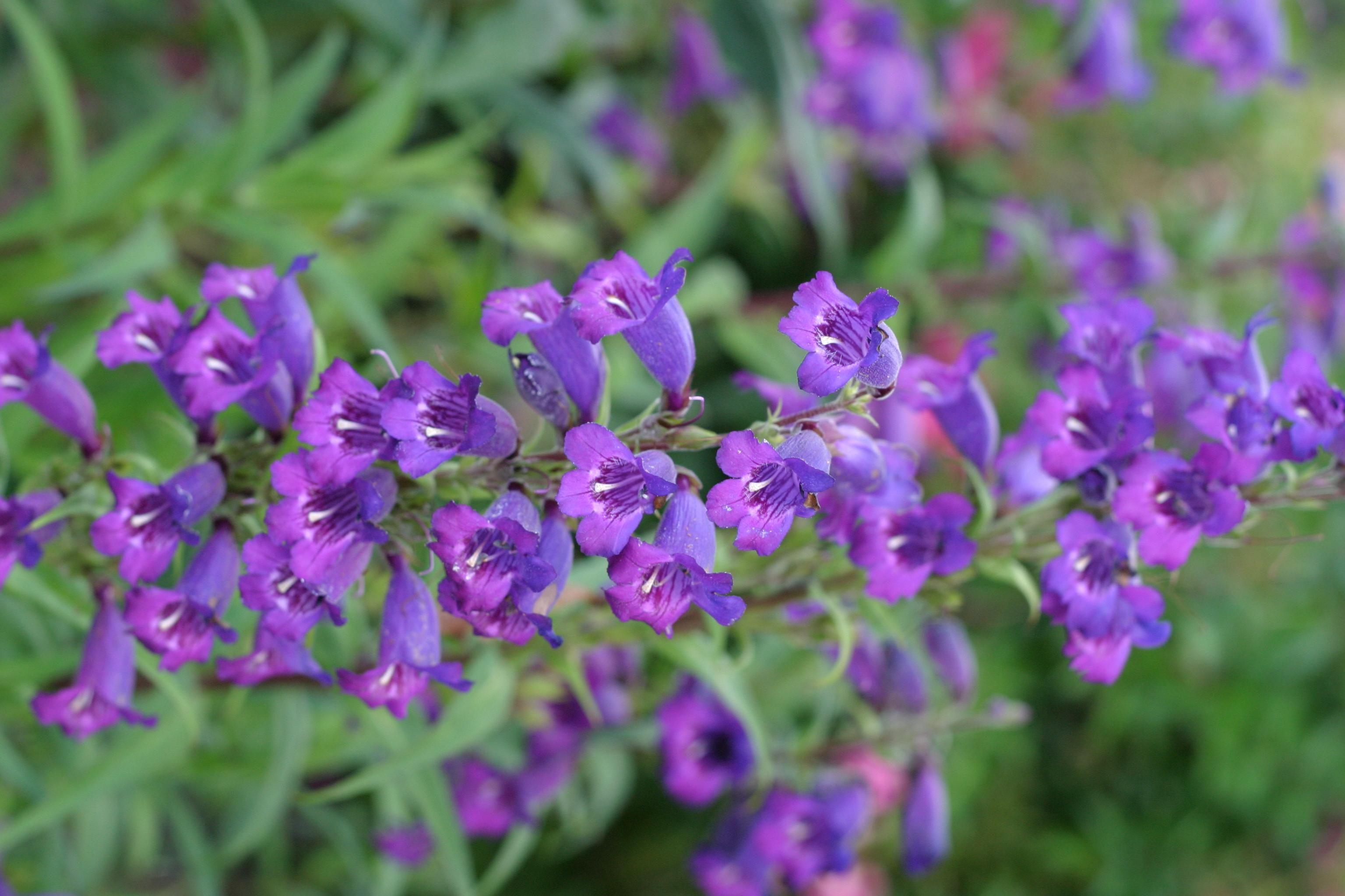 Piccoli Fiori Viola.Foto Gratis Piccoli Fiori Viola