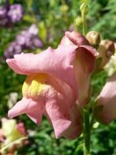 snapdragon, pink