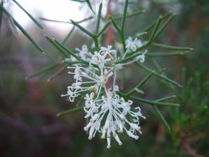 delgadas, blanco, nativo, floraciones