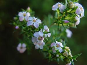 sprig, tiny, flowers