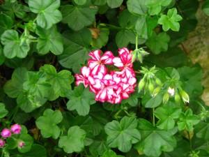 paski, geranium