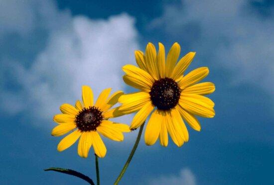 sunflower, flower, blue sky, background