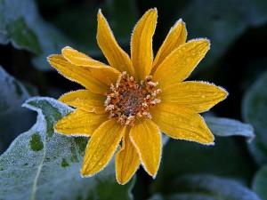 sunflower, frost