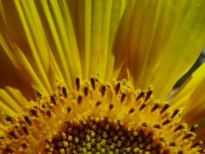 sunflower, sunrise