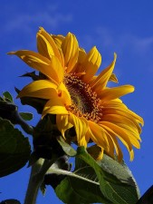 sunflowers, sunshine