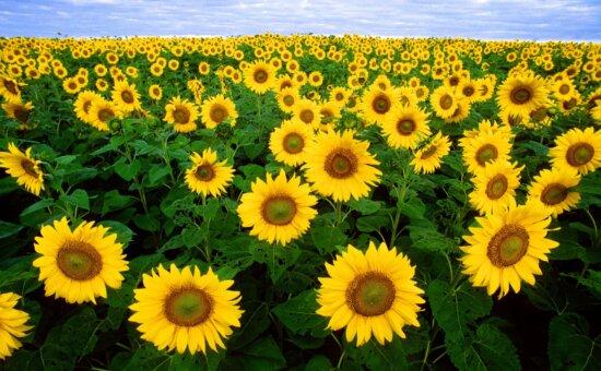 sunflowers, helianthus, annuus