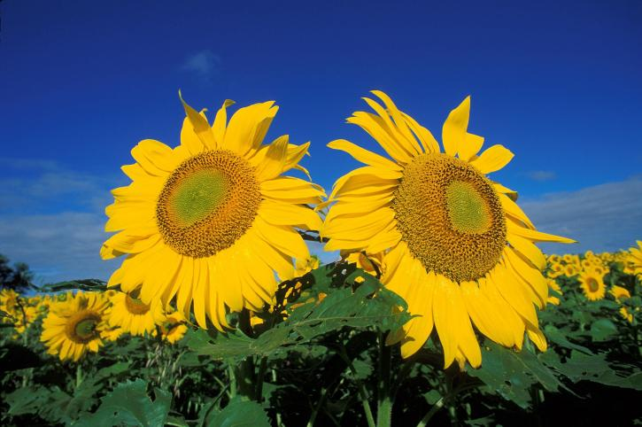 solsikker, felt, blomst