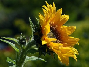 sunflowers, petals, pollen, yellow