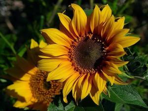 sunflowers, yellow