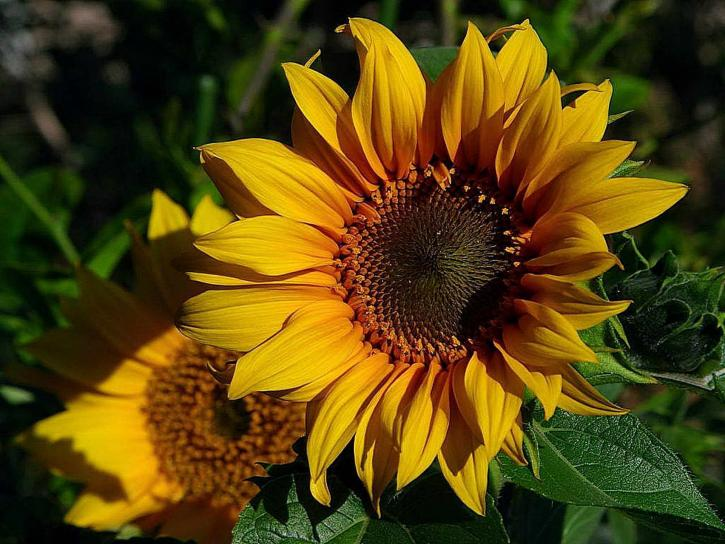 girasoles, amarillo