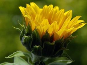 yellow, Sun, flower