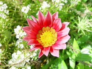 zonovergoten, dahlia, bloem