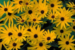 słodki, czarny, oczach, susan, jasny żółty, kwiaty, ciemny, brązowy, ceters, kwiaty, rudbeckia subtomentosa