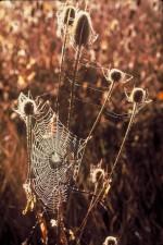toiles d'araignée, cardère