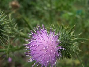 thistle, flower