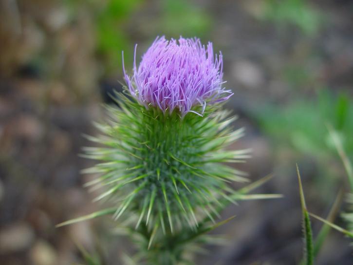 chardon, plante