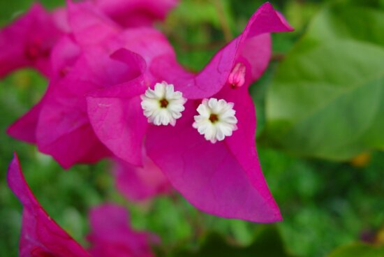 tiny, white, blooms, pink, petals