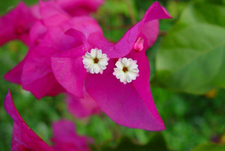 małe, białe kwiaty, różowy, płatków