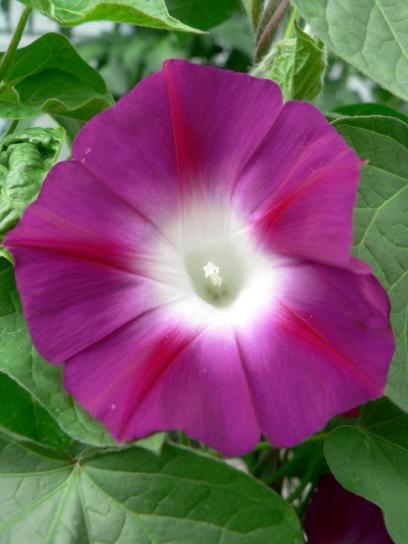 тютюн, цвете