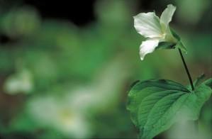 up-close, delicate, white, trillium, flower, trillium grandiflorum, blooming, foliage