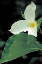 de près, fleur blanche, fleur, trille, fleur