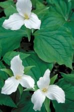 de près, blanc, trillium, fleurs, vert, feuillage