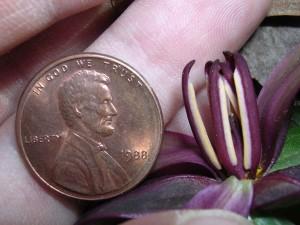 cvijet, endengered, trillium reliquum, trillium anthers, novac