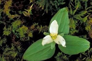 pflanze, Trillium, nivale