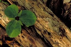 egyetlen virág, erdő, trillium ülők, virágzik, zöld levelek, növekvő