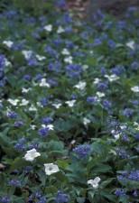 hvit, blå blomst kronblad hvite, trillium, virginia, blåklokker, vokser, sammen