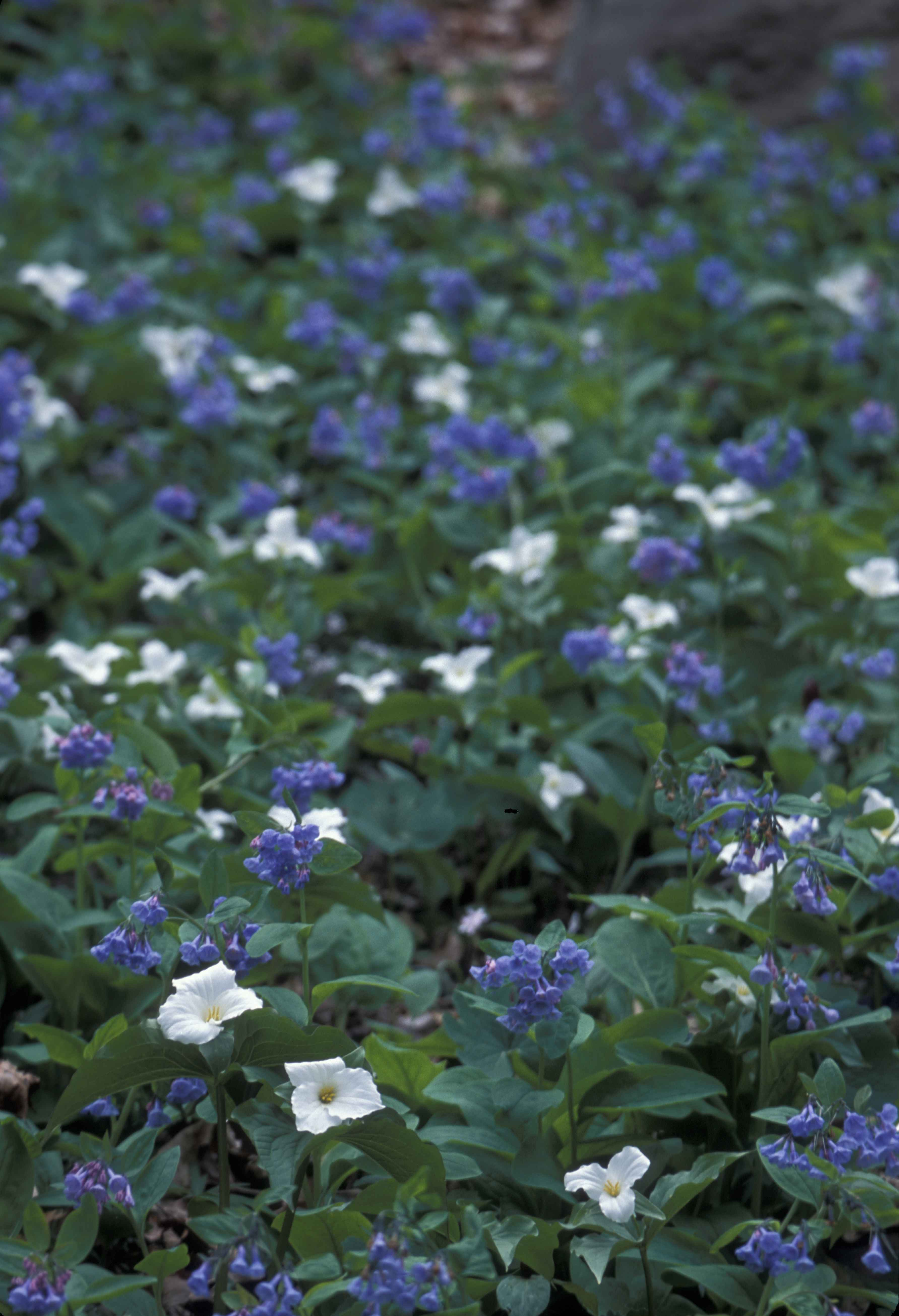 Free picture white blue flower petals white trillium virginia white blue flower petals white trillium virginia bluebells growing together izmirmasajfo