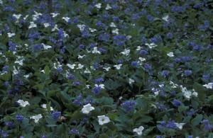 hvit, trillium, virginia, blåklokker, blomster, trillium grandiflorum, mertensia, virginica