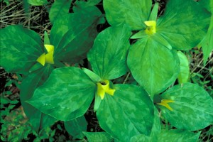 yellow, trillium, yellowish, green, blossoms, bright green leaves