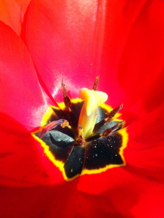 up-close, red, tulip, flower, blooming