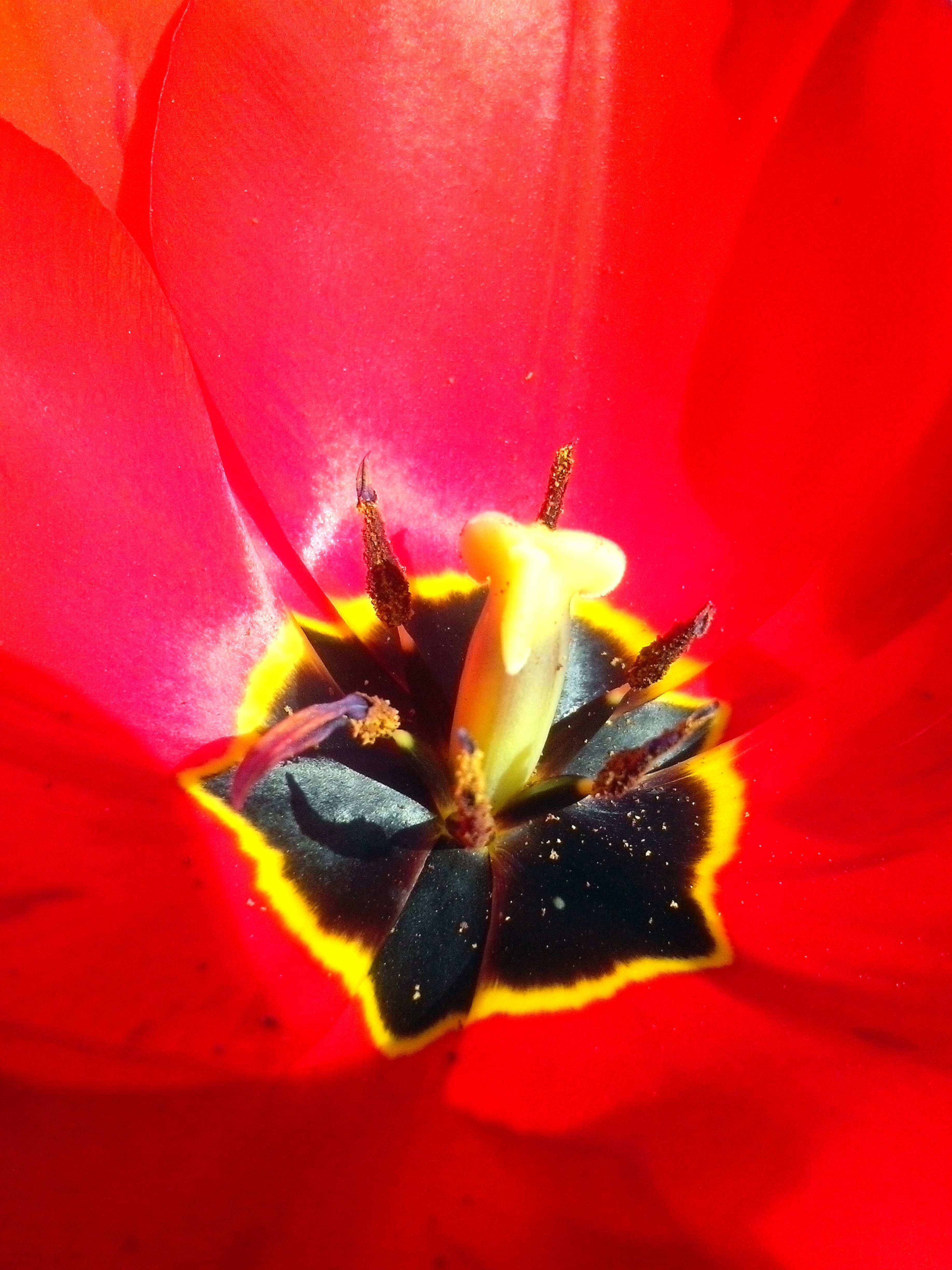 Free photograph; close, red, tulip, flower, blooming