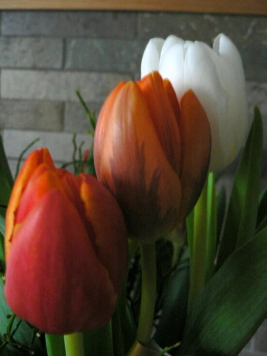 colorfull, tulips