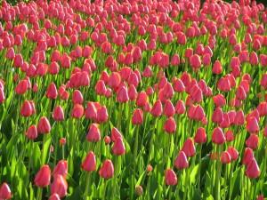 pink, tulips, plants